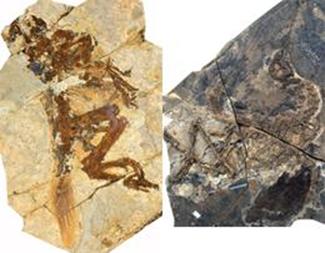Similicaudipteryx bébé et ado, Zheng Xiaoting