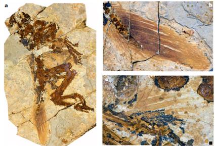 STM4-1, Bébé Similicaudipteryx
