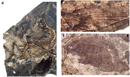 STM22-6, Similicaudipteryx ado, ou jeune adulte, ou ptit con