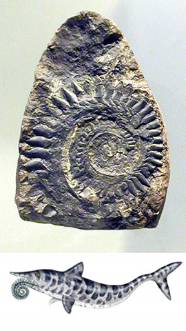 Helicoprion, AMNH