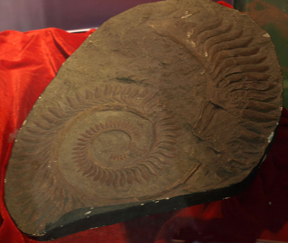 Helicoprion bessonovi, Paleozoological Museum of China