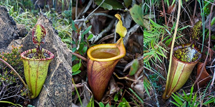 Nepenthes attenboroughii, Alastair S. Robinson