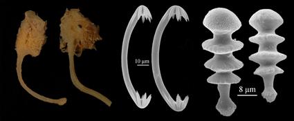 Chondrocladia (Meliiderma) turbiformis, Jean Vacelet