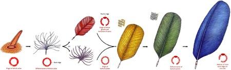 Modèle évolutif des plumes
