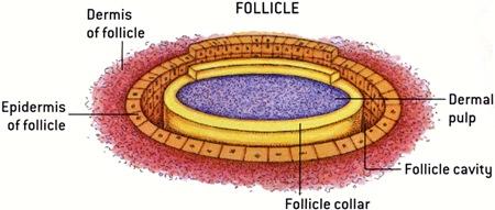 Schéma d'une section de plume folliculaire