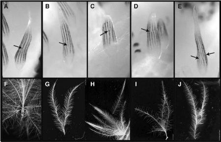 L'expression de Shh et Bmp2 préfigure les variations morphologiques des plumes du duvet de poussin