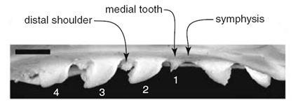 Reconstitution des dents ayant machouillées le coprolithe