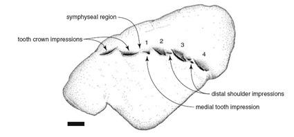 Correspondance entre les dents de l'empreinte et les incisions à la surface du coprolithe
