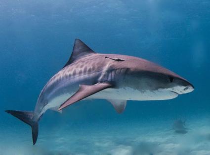 Requin tigre, Galeocerdo cuvier