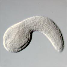 Ciona intestinalis au stade larvaire (mid-tailbud)