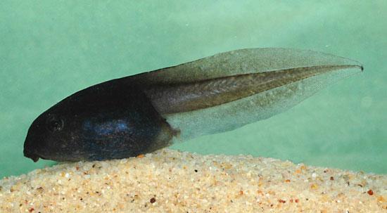 Tétard de grenouille (Litoria littlejohni)