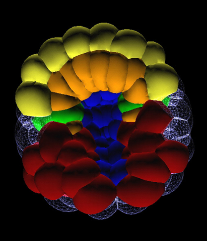 Gastrula virtuelle (118 cellules) de Ciona intestinalis, F. Robin and P. Lemaire