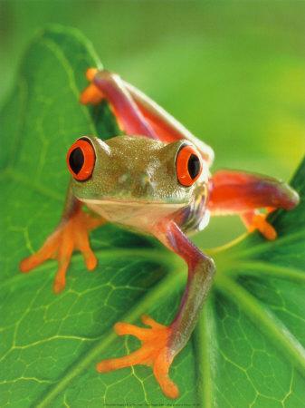 La grenouille aux yeux rouges (Agalychnis callidryas)