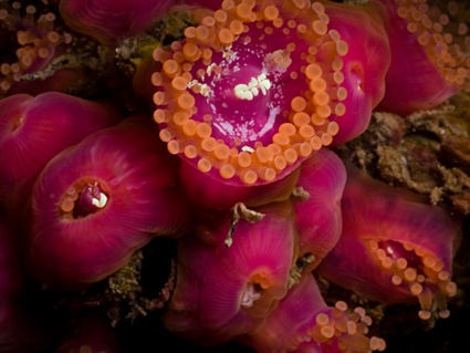 Corynactis viridis violet et orange