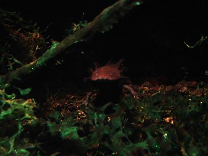 Larve d'Ambystoma tigrinum