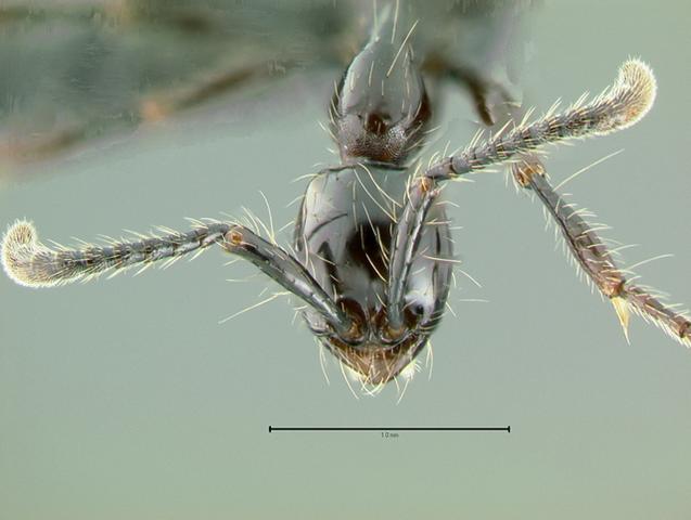 Tête d'ouvrière Aenictus gracilis, © Copyright Gary Alpert, 2005-2008