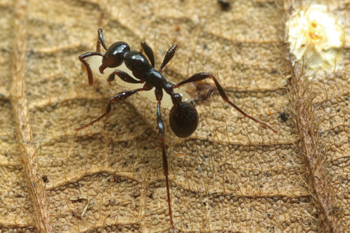 Fourmi Aenictus portant tendrement une femelle Vestigipodia longiseta