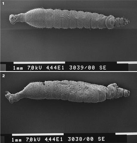 Vestigipoda maschwitzi femelle vue de dessus et du côté droit, en microscopie électronique