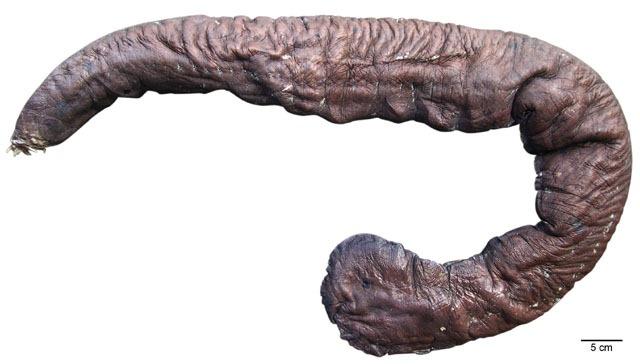 Eptatretus goliath