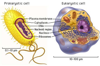 Procaryote (à gauche) et Eucacaryote (à droite)