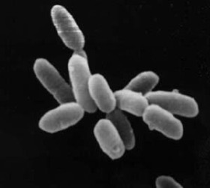 Halobacteria sp. vu au Microscope Electronique à Balayage