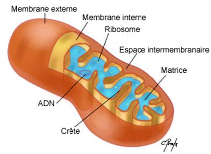 Une Mitochondrie... que c'est mimi!
