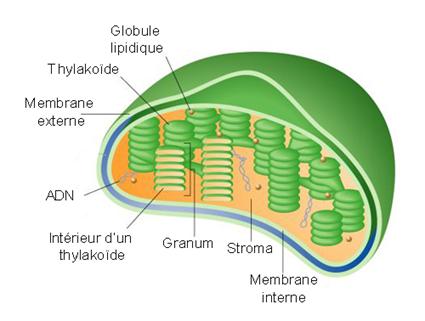 Un chloroplaste... Qu'est-ce que c'est classe!