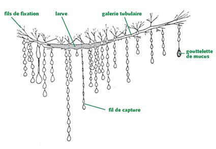 schéma de larve d'Arachnocampa luminosa