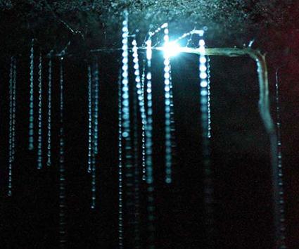 filaments gluants suspendus au plafond d'une cave de Waitomo