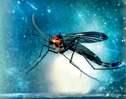 Adulte d'Arachnocampa Luminosa (mâle)