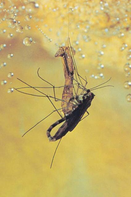 Accouplement d'Arachnocampa luminosa avec une femelle venant juste de s'extirper de sa pupe