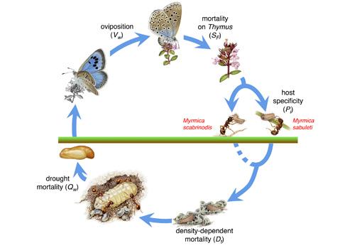 Cycle de vie de Maculinea arion