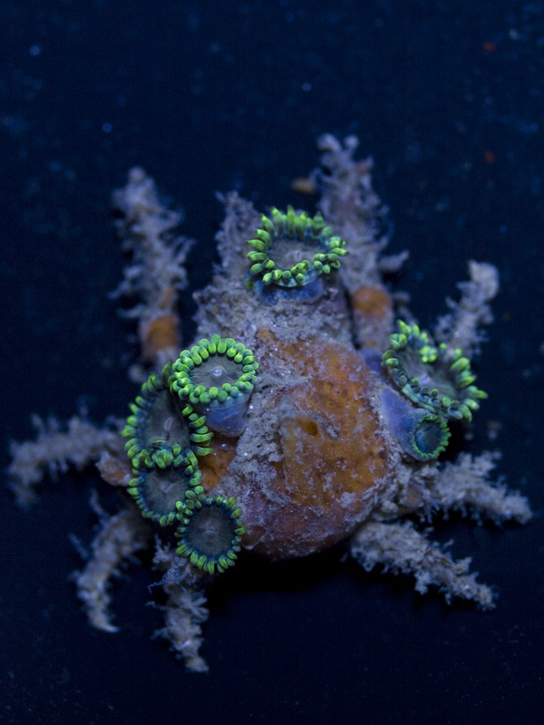 decorator-crab-w-zoas.jpg