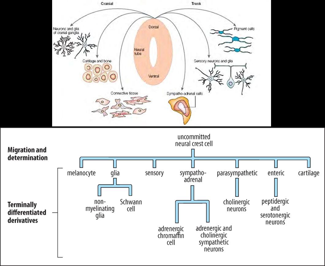 Destin cellules crêtes neurales
