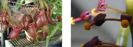 Nepenthes sp, la plus appréciée des collectionneurs pour sa facilité à hybrider les variétés