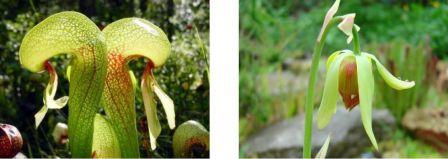 Darlingtonia californica, la plante Cobra qui trompe ses victimes par des fausses fenêtres lumineuses