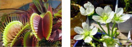 "Dionaea muscipula, la celèbre ""Vénus attrape-mouche"