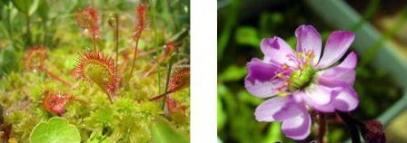Drosera rotundifolia, drosera à feuilles rondes et ses tentacules gluants