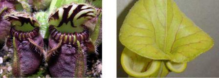 Urnes de Cephalotus et zones nectarifères de Sarracenia