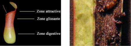 Nepenthes à zone glissante et poils de Sarracenia portant des cadavres d'insectes