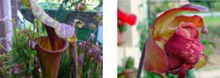 Sarracenia flava, dont les urnes peuvent mesurer jusqu'à 70cm de haut