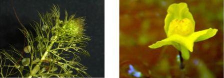 Utricularia australis, plante aquatique à pièges aspirants