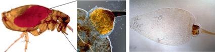 Tractus intestinal de la puce. L'intestin de la puce est rempli de sang après le repas. Les deux photos à droites montrent le tractus intestinal disséqué avec le proventricule épineux, la partie terminale de l'œsophage