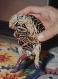 Pénis de tortue en érection