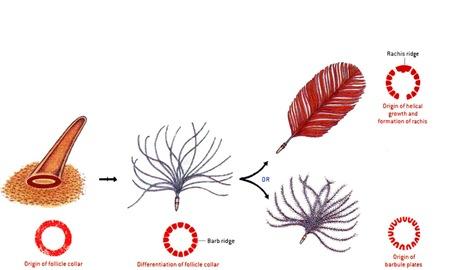 Etapes 1 à 3 de l\\\\\'évolution des plumes