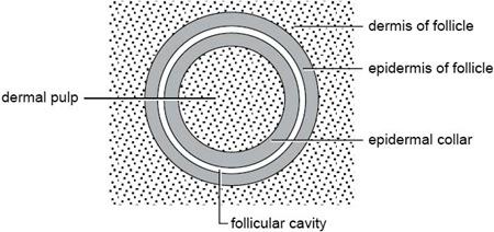 Schéma d\\\\\'une section de plume folliculaire